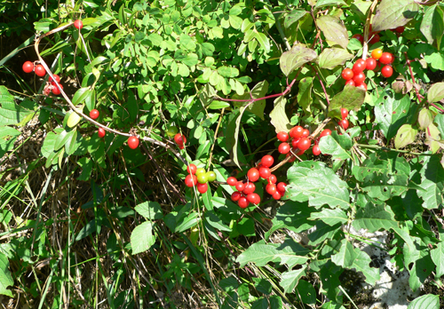 bryonia_dioica_berries
