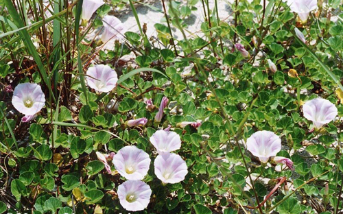 calystegia-pubescens2