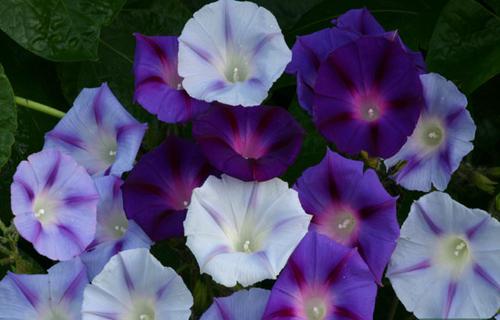 Садить вьющиеся растения возле забора