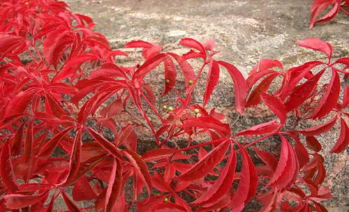 parthenocissus-quinquefolia