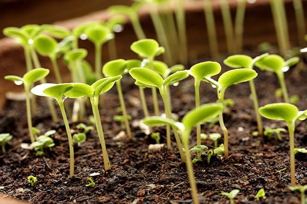 Зеленый забор вьющиеся растения для