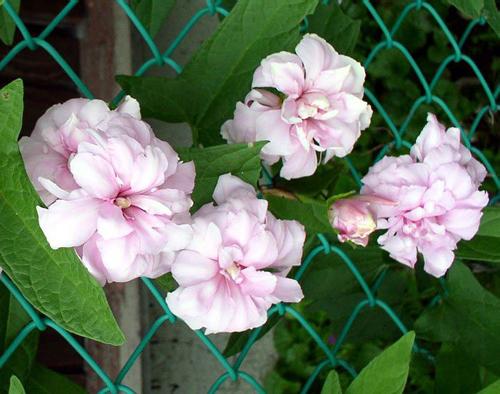 calystegia-pubescens