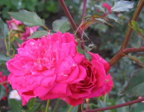 roza_gypsyjewel