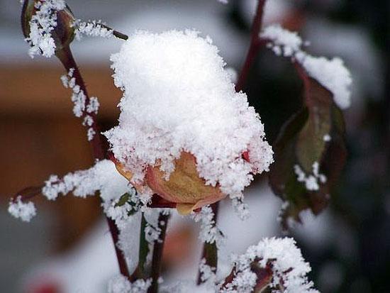 Цветы и кустарники зимой в саду