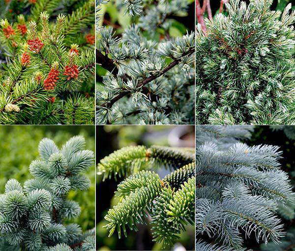 Как и когда сажать хвойные, обрезка хвойных, Хвойные для участка, хвойные растения, как купить хвойные, ландшафтный дизайн из хвойных, почва для хвойных